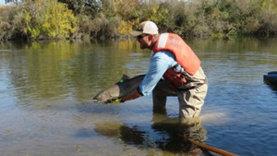 Fishery worker capturing a fish in the San Joaquin River.